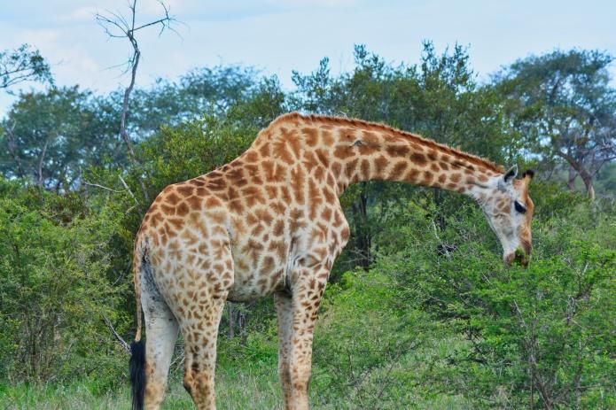 girafa .jpeg