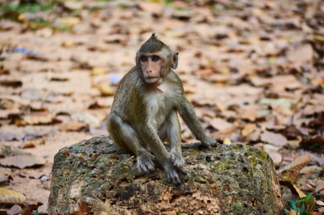macaco camboja.jpeg