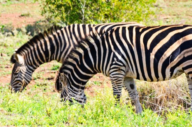 zebras kruger park.jpeg